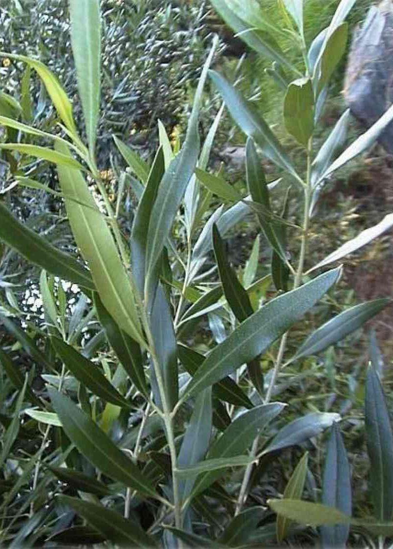 Bois d'olive noir